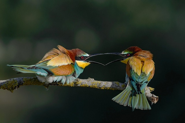 Bee eaters1