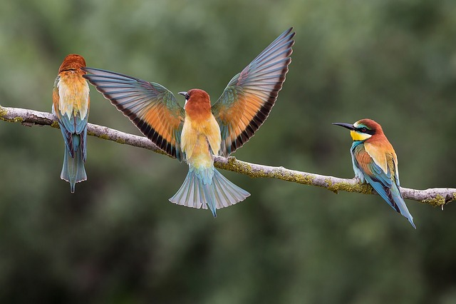 Bee eaters2